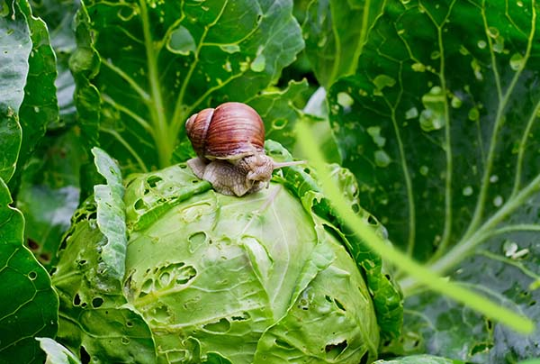 snail eating cabbage in garden