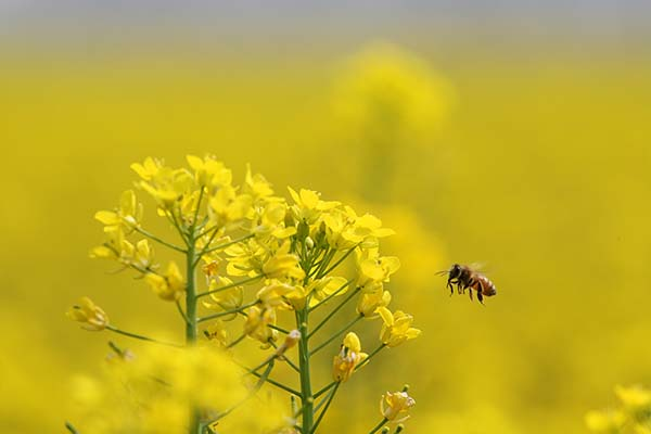 bee pollinating crops