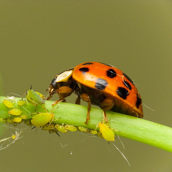 ladybird and greenfly on plant