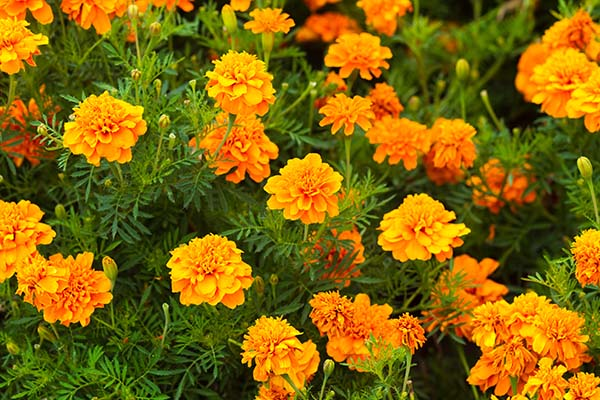 marigold to repel pests