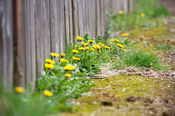 Weed killer to kill dandelions and other weeds