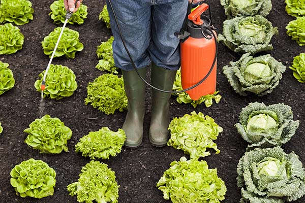 spraying lettuce with pesticide