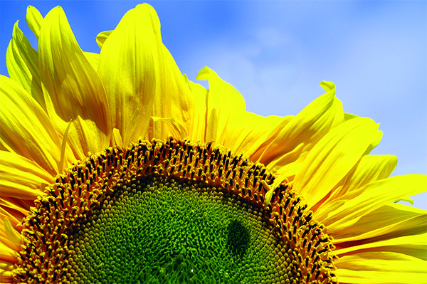 Sunflower ideal to plant with children